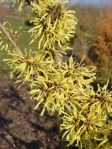 witch hazel plant flower
