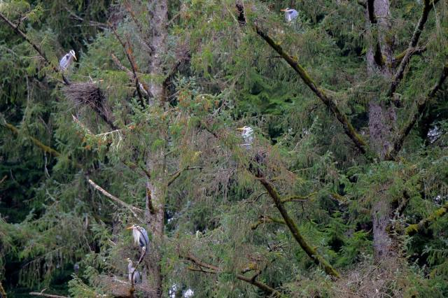040916 Blue Herons Nesting Ken Gagne
