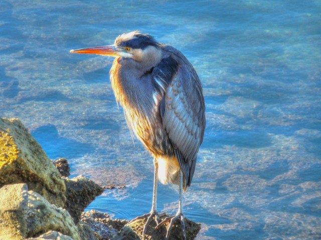 041116 Ken Gagne Blue Heron