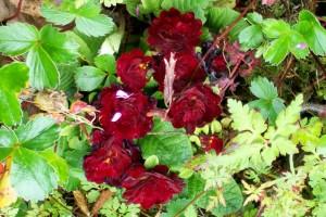 041116 Primrose red