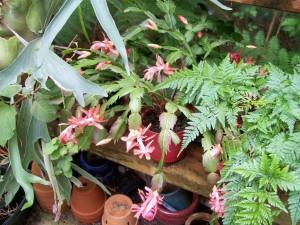 041116 Xmas Cactus