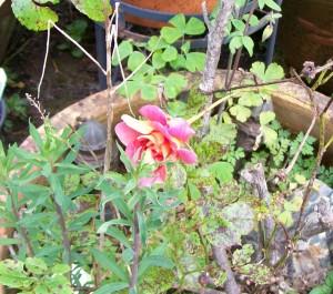 041816 rose