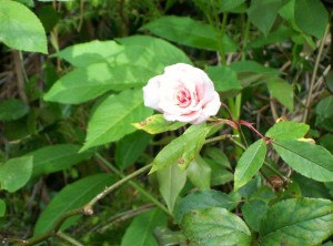 042116 rose