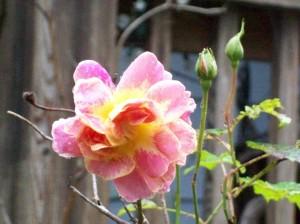 042216 Rose