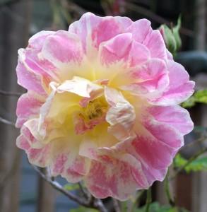 042616 Rose