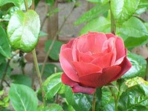 050316 Rose2