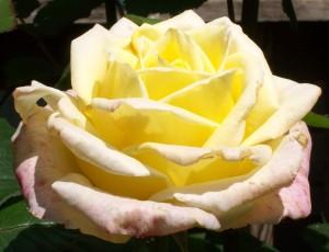 051816 rose1