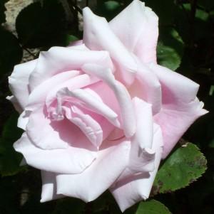 051816 rose2