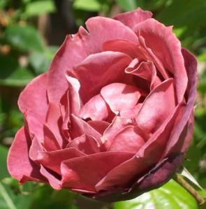 051816 rose3