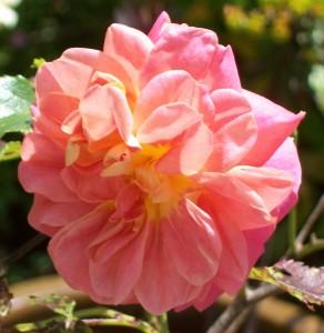 051816 rose4