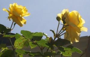 051816 rose5