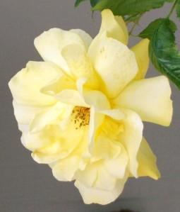 051816 rose6