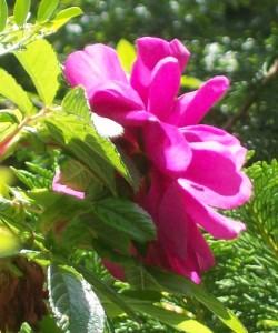 051816 rose7