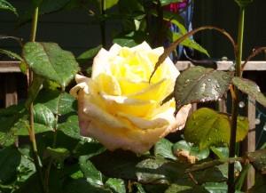 051916 Rose