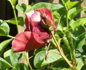 051916 Rose2