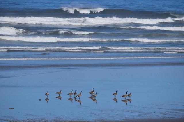 052016 Ken Gagne geese yachats bay