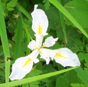 052816 Iris