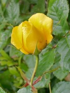 052916 Rose2