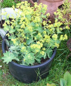 053016 lady's mantle2