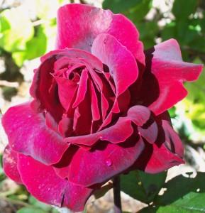 060316 rose