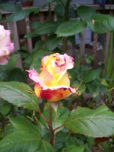 060816 flower08