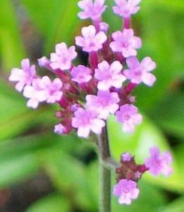 070716 Flower1