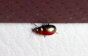 071016 Trip47 beetle