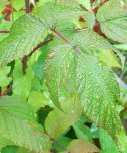 071216 leaf1