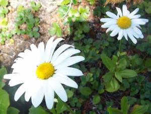 080216 Daisy1