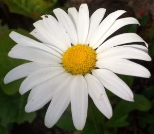 080216 Daisy2