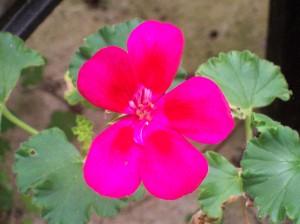 081116 Flower01