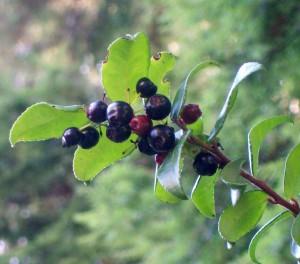082516 Berry