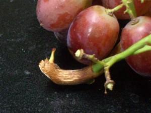 090316 Grapes