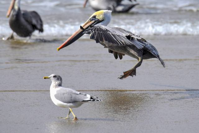 101216-ken-gagne-pelican-has-put-his-landing-gear-down-and-is-about-to-touch-down-at-yachats-international-airport
