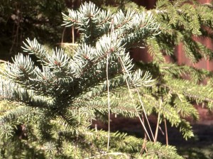 Pine needles on a spruce
