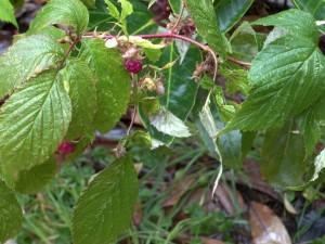 102016-raspberry