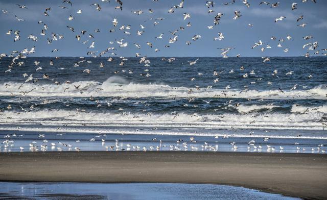102416-ken-gagne-yachats-gulls