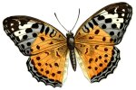 butterfly motif bug